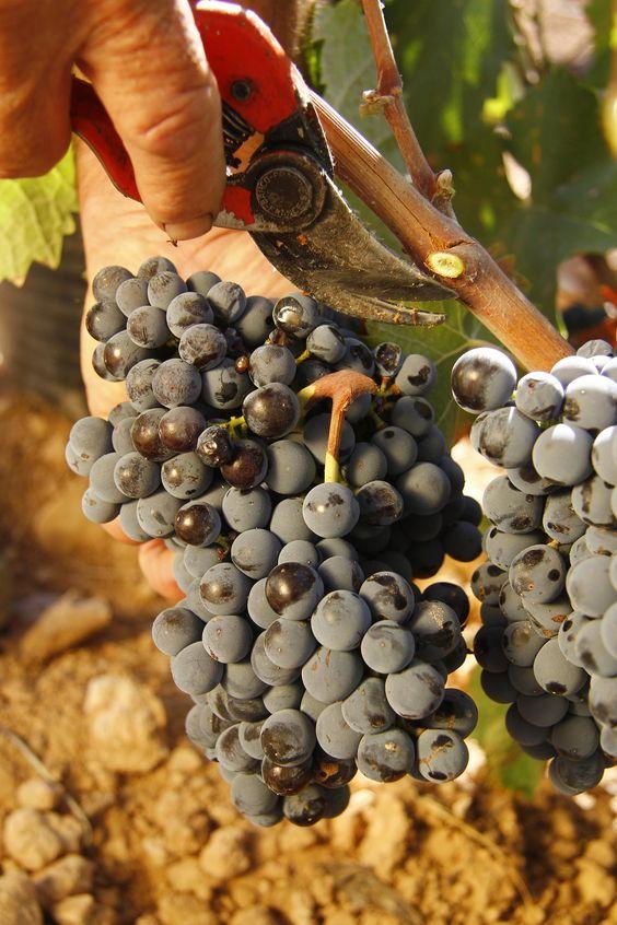 canarabi.com cortando uva