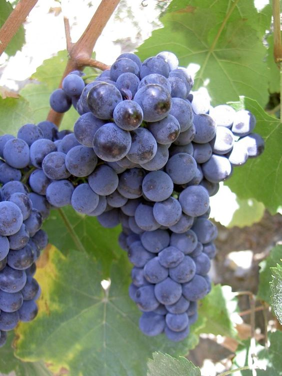 canarabi.com uva monastrell